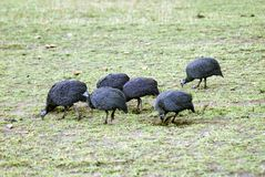 Helmeted Guineafowl. Six Helmeted Guineafowl peck away at the ground searching for insects and seeds Royalty Free Stock Photo