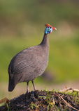 Helmeted Guineafowl Stock Image