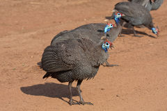 Helmeted Guineafowl. Group of Guinea Fowl in Pilanesberg National Park, South Africa Royalty Free Stock Photography