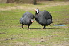 Helmeted guineafowl Royalty Free Stock Photo