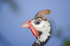 Helmeted guineafowl. A closeup shot of a helmeted guineafowl Royalty Free Stock Photos