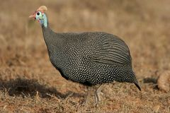 Helmeted Guineafowl. Or Guineahen running across the veld Stock Image