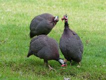 Helmeted guineafowl, big grey bird with white spot, walking and foraging in green grass with its flock looking for food stock image
