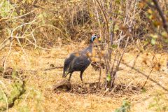 Helmeted guineafowl in the bush. Meru, Kenya Royalty Free Stock Photography