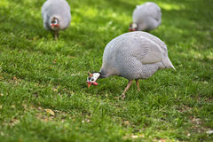 Helmeted Guineafowl. In the courtyard Royalty Free Stock Image