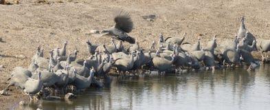 Helmeted guineafowl drinking. Etosha National Park Namibia, Africa birds flock of  helmeted guineafowl drinking Stock Image