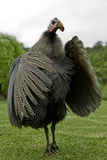 Helmeted guineafowl flapping its wings Royalty Free Stock Photo