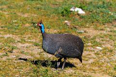 Helmeted guineafowl in the grass. Serengeti, Tanzania Stock Photography