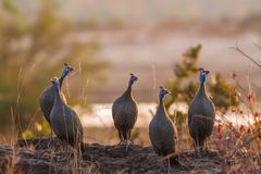 Helmeted guineafowl in Kruger National park, South Africa royalty free stock photos