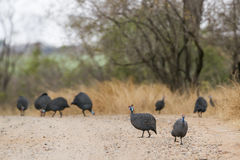 Helmeted guineafowl in Kruger National park stock photography