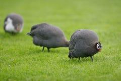 Helmeted Guineafowl / Numida Meleagris. Helmeted Guineafowls / Numida Meleagris  scouring the field for food Royalty Free Stock Photos