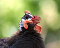 Helmeted Guineafowl Stock Photo