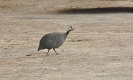 Helmeted Guineafowl (Numida meleagris) Royalty Free Stock Photography