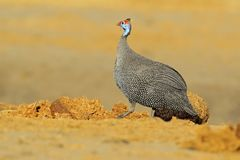 Helmeted guineafowl, Numida meleagris, bird on gravel road. Wildlife scene from African nature, Chobe NP, Botswana stock images