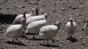Helmeted Guineafowl Numida meleagris Birds at Poultry Farm. Shot with a Sony RX10 IV fps29,97 FHD stock video