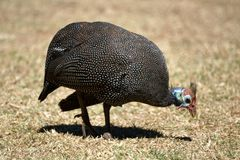 Helmeted guineafowl in Pretoria, South Africa. Helmeted guineafowl - Numida meleagris - in the botanical gardens in Pretoria, South Africa Royalty Free Stock Images