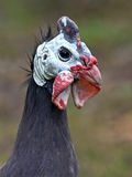 Helmeted Guineafowl (numida meleagris) Royalty Free Stock Photos