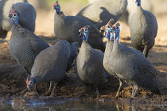 Helmeted Guineafowl (Numida meleagris), drinking, Botswana Stock Photography