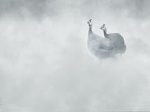Helmeted guineafowl Numida meleagris in the fog, Stock Photo