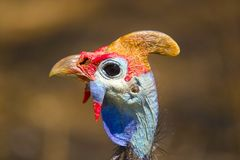 Helmeted guineafowl (Numida meleagris) Royalty Free Stock Image