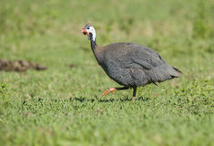 Helmeted Guineafowl (Numida meleagris) Stock Images