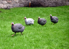 Helmeted Guineafowl, Numida meleagris Stock Photography