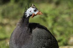 Helmeted guineafowl Numida meleagris Royalty Free Stock Image