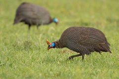 Helmeted Guineafowl - Numida meleagris Stock Images