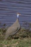 Helmeted guineafowl, Numida meleagris. Single bird by water,   rnTanazania Royalty Free Stock Photos