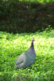 Helmeted Guineafowl (Numida meleagris) walking on Royalty Free Stock Image