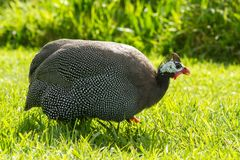 Guineafowl waddles across grassy field. A helmeted guineafowl Numida meleagris walking through a sunlit field with a grassy background Stock Photos