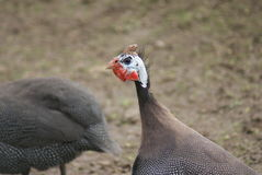 Helmeted Guineafowl - Numida meleagris Stock Photo