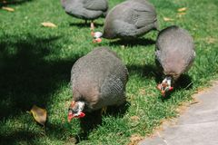 Helmeted guineafowl park. Istanbul, Turkey stock photos