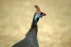 Helmeted guineafowl in Pretoria, South Africa. Helmeted guineafowl - Numida meleagris - close up, in the botanical gardens in Pretoria, South Africa stock photos