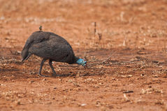 Helmeted Guineafowl. In a red dry savannah in Africa Stock Photo