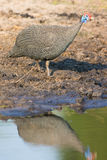 Helmeted Guineafowl Reflection in water. In Africa Stock Images