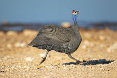Helmeted guineafowl running Royalty Free Stock Image