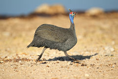 Helmeted guineafowl running Royalty Free Stock Photos
