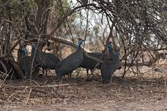 Helmeted guineafowl in the shade of a bush, botswana, africa royalty free stock photography