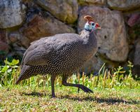 Helmeted Guineafowl. A Helmeted Guineafowl in Southern Africa Stock Image