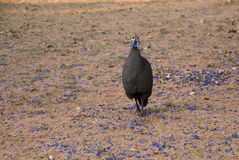 Helmeted Guineafowl. And violet flowers in savannah Royalty Free Stock Image