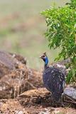 The helmeted guineafowl. Walks on the savannah Stock Image