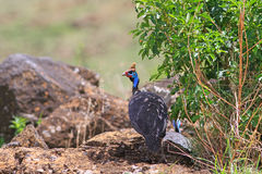The helmeted guineafowl. Walks on the savannah Stock Photo