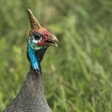 The Helmeted Guineafowl. Wild bird in Africa. Lake Manyara Natio Stock Photography