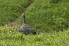 The Helmeted Guineafowl. Wild bird in Africa. Lake Manyara Natio Royalty Free Stock Photography