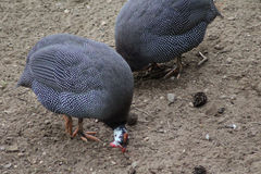 Helmeted guinefowl group Royalty Free Stock Images