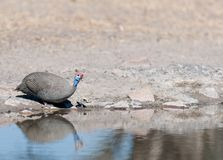 Helmeted Guines fowl at the water. Helmeted Guinea fowl at the water Royalty Free Stock Photography