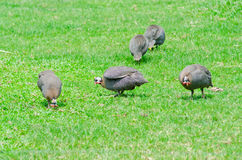 Helmeted Guinesfowl on the grass Stock Image