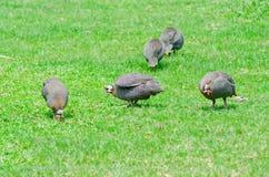 Helmeted Guinesfowl på gräset Fotografering för Bildbyråer