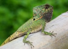 Helmeted Iguana or Casque-headed Lizard Royalty Free Stock Images
